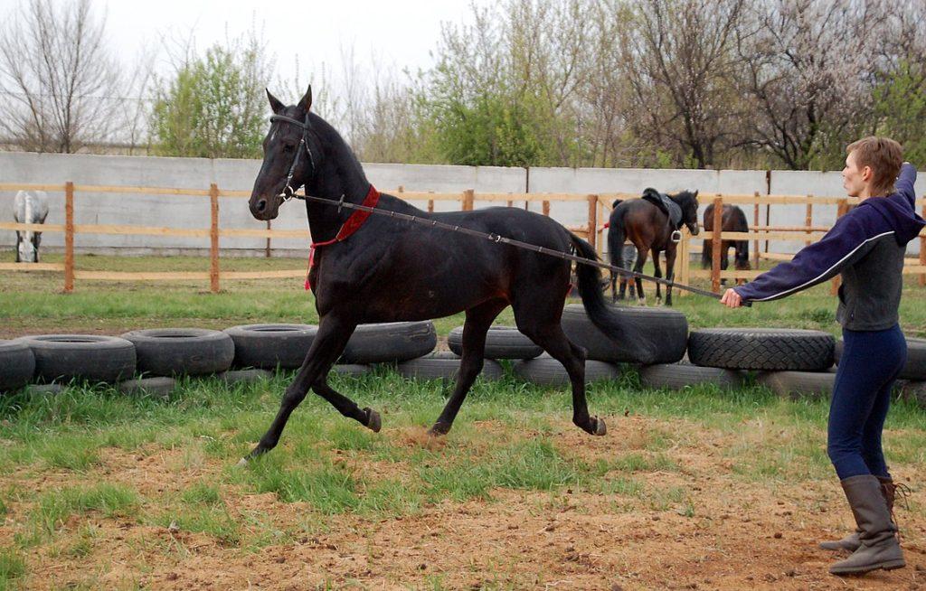 warm-up,longeing,horse,