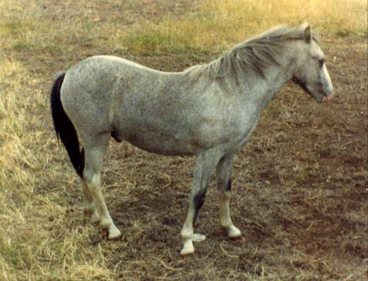 picture of a welsh pony,
