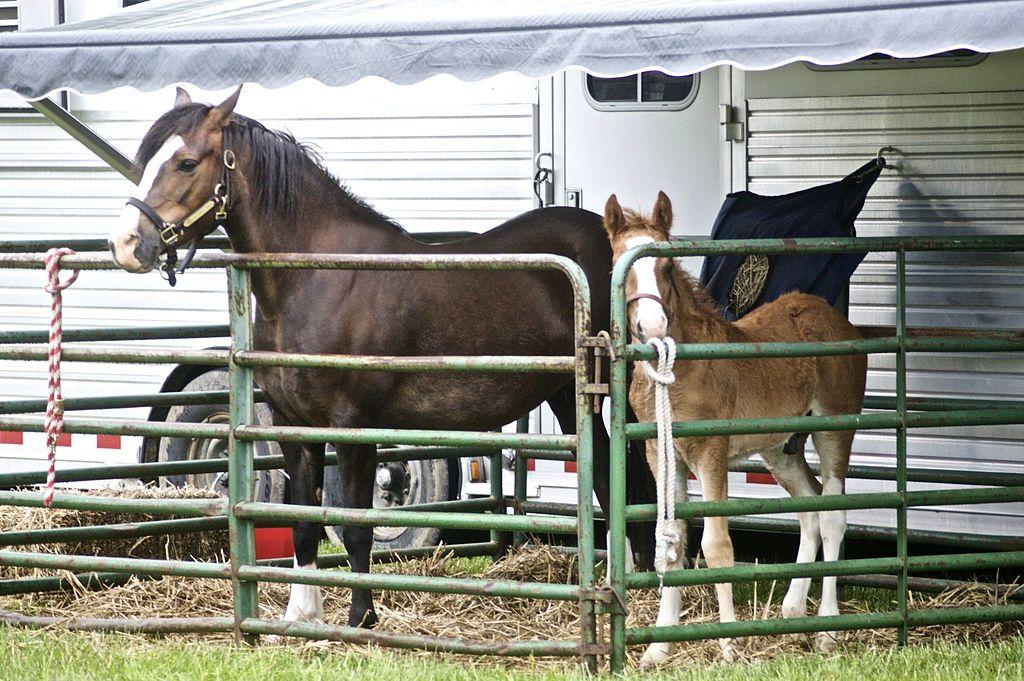 child, horse breeds, ponies,