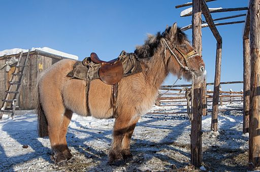 Picture of a Yakutian horse.