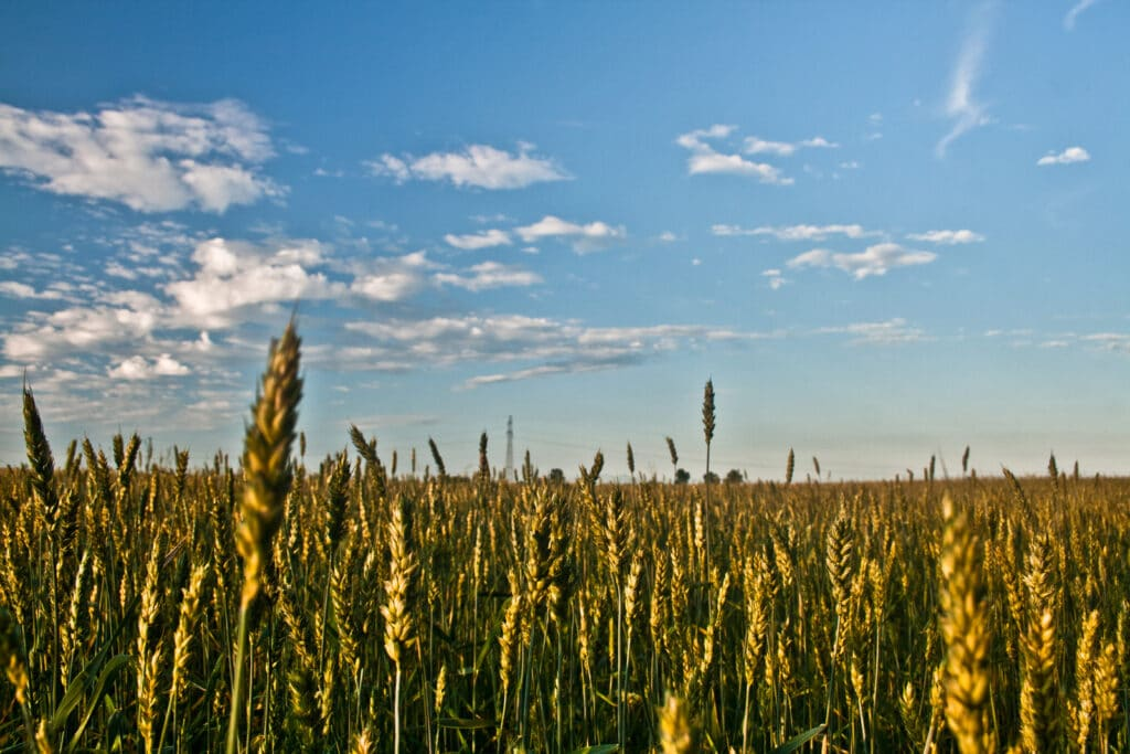 Picture of a field of grain,