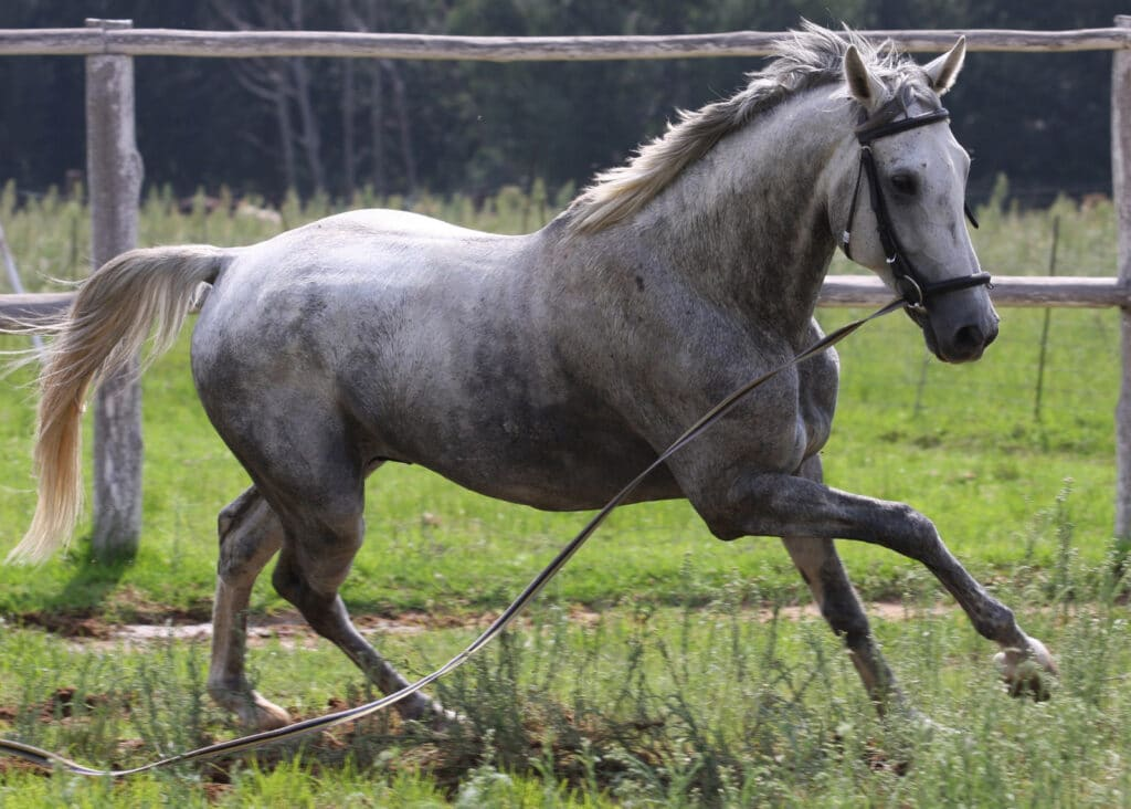 picture of a dapple grey horse on a lunge line,