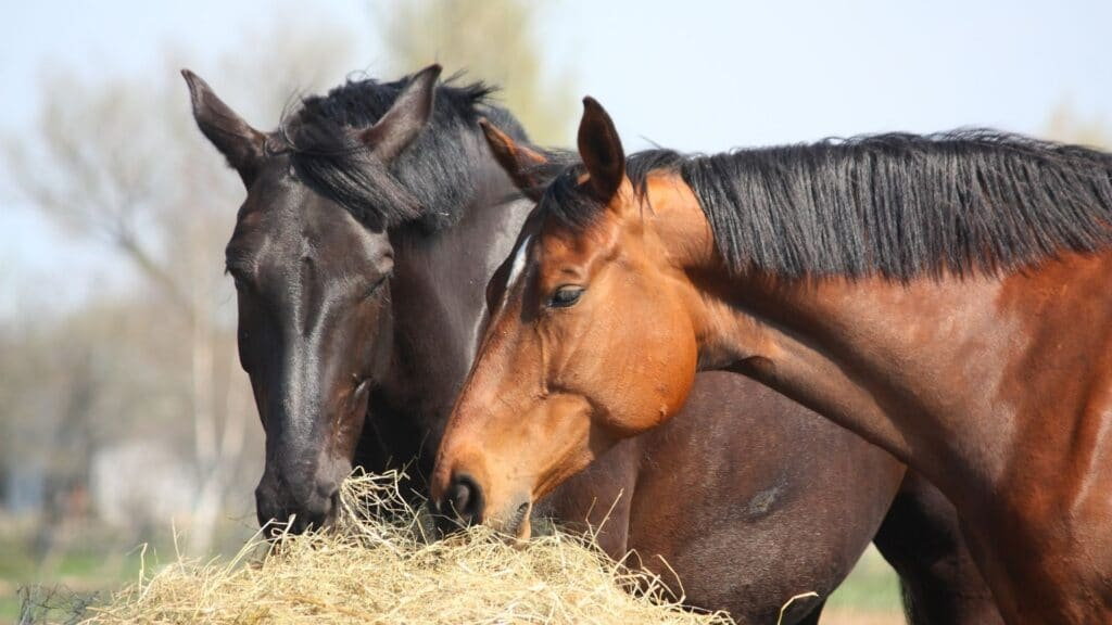 picture of horses eating hay,