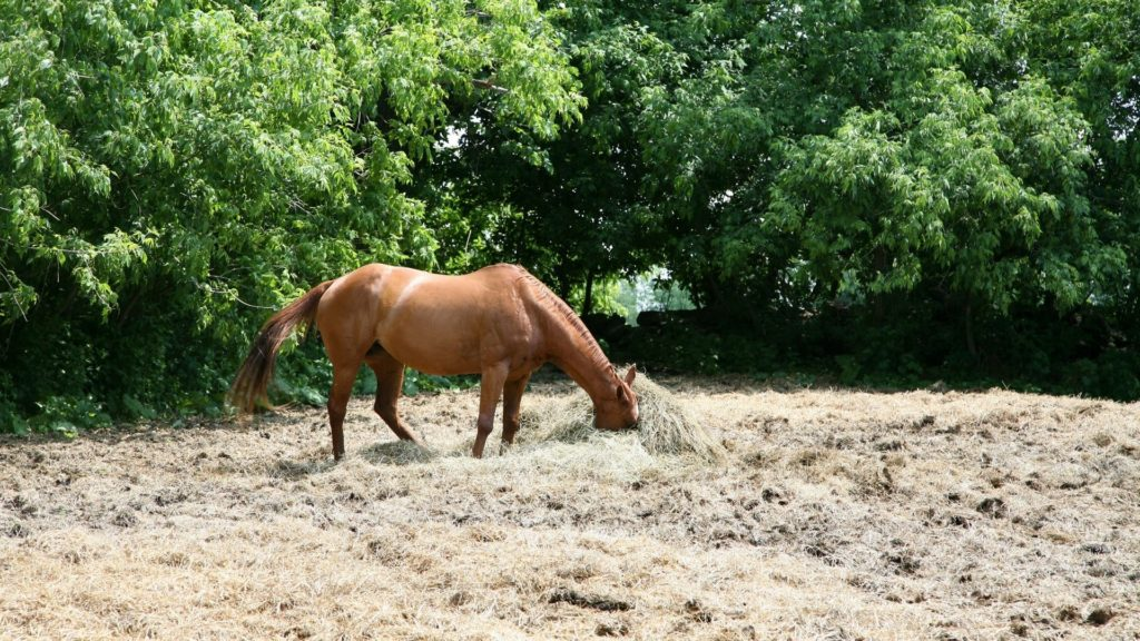 picture of a horse with his head in hay,