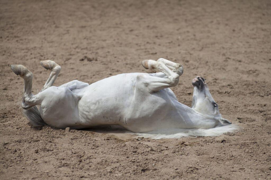 horse laying down, sleep, lay,