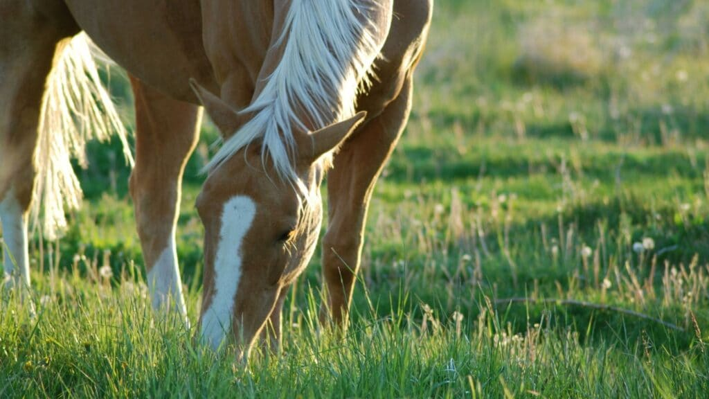 Picture of a horse grazing; they aren't omnivores!