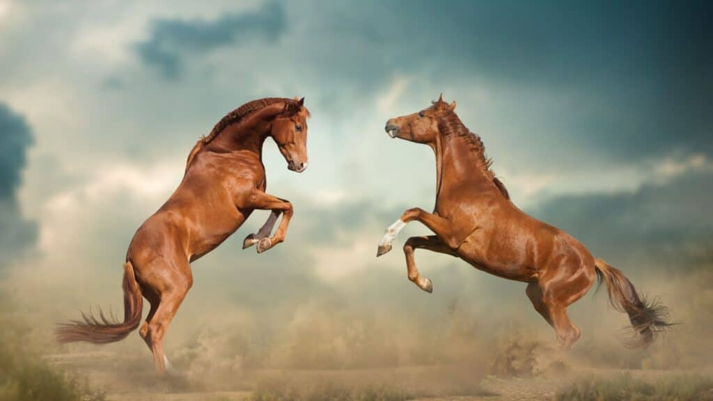 Picture of two horses attacking each other.