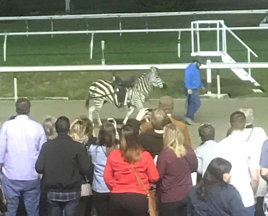 horses and zebras, zebra races,zebra,horse racing,