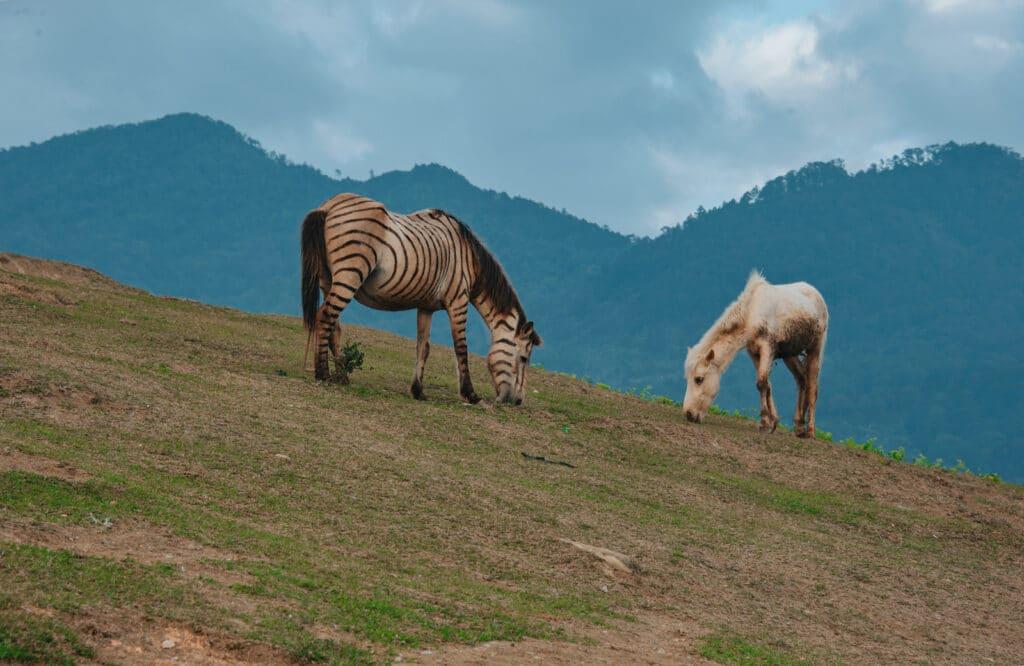 horses and zebra,grazing,prey animals,