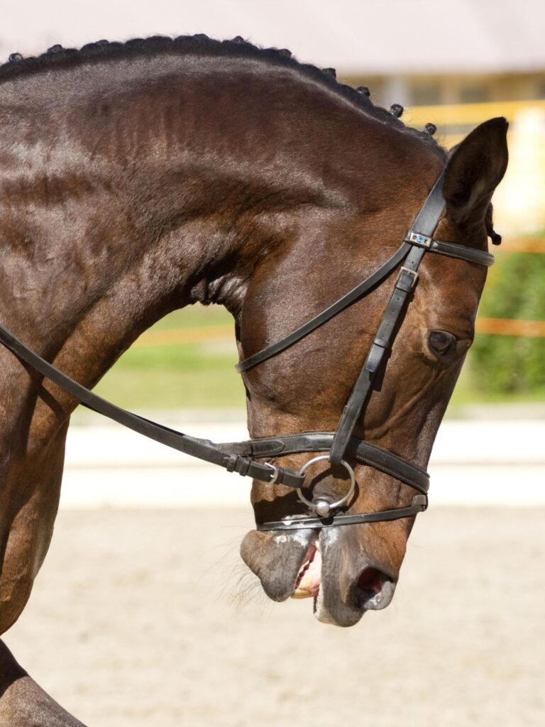 picture of a horse in dressage training with his neck bent downward, in rollkur position.