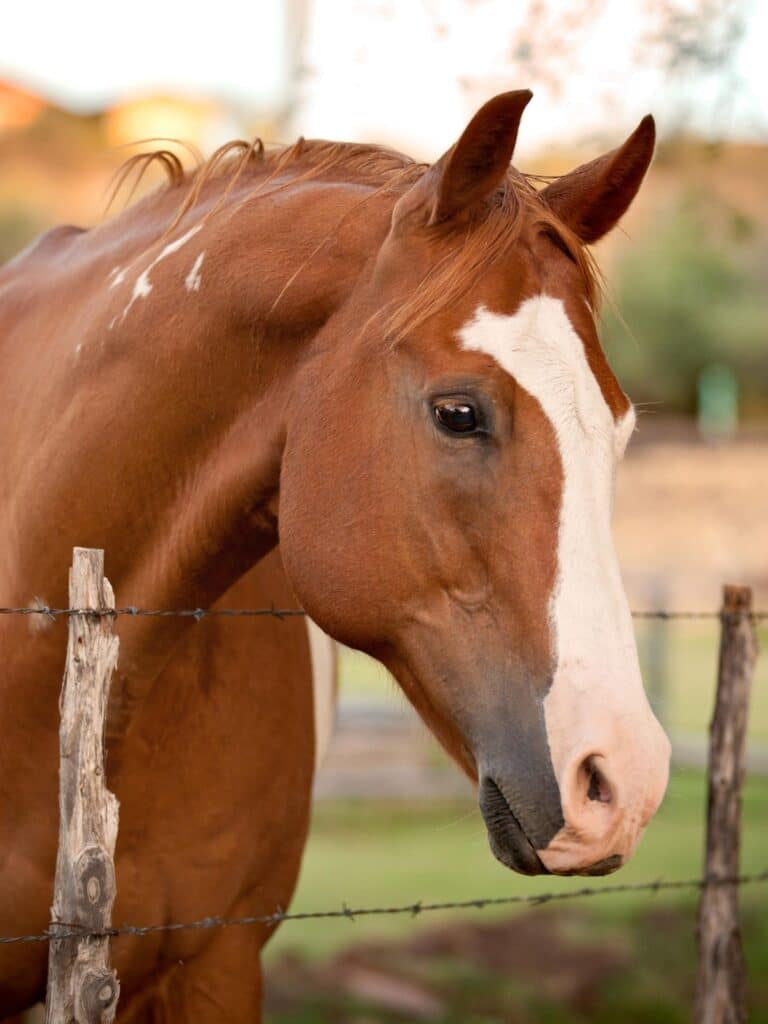 picture of a horses leaning on a fence, fleas, horses, mites, insects,