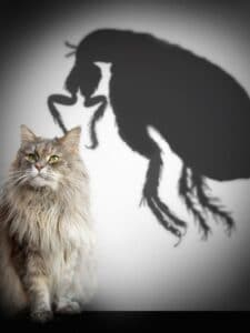 picture of a flea and cat, horses, fleas,