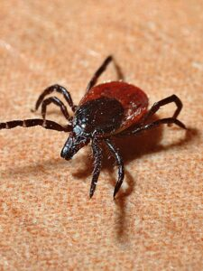 picture of a tick, fleas, mites, horses