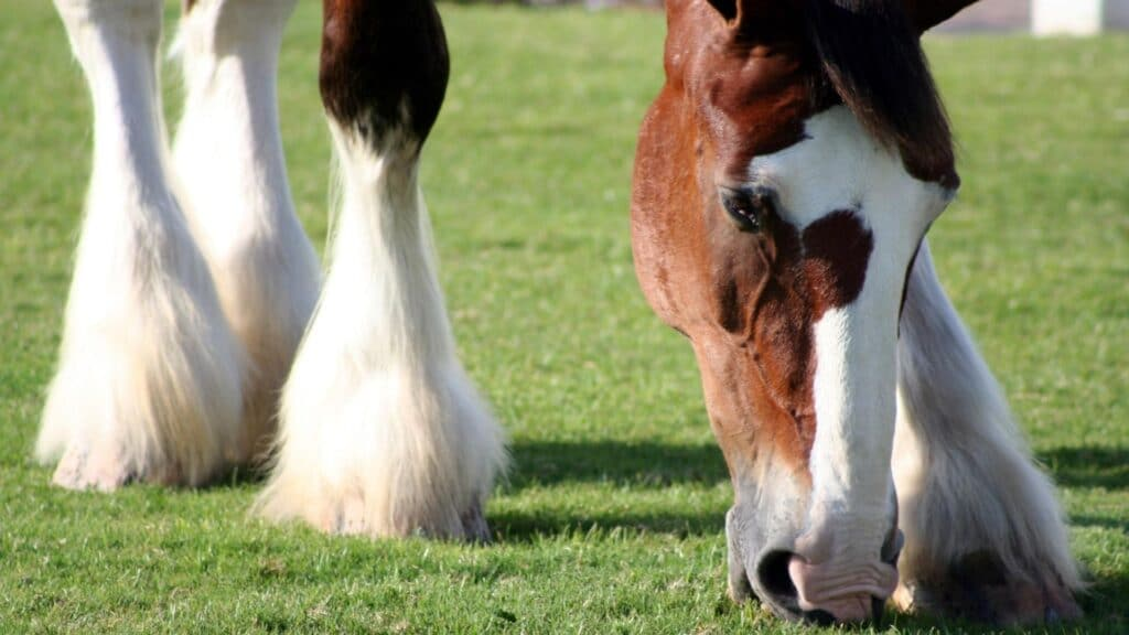 Picture of a draft horse with furry feet,