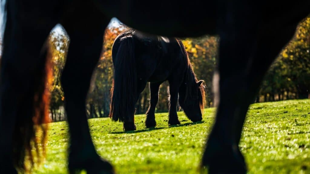 fell pony,furry feet,feathers,