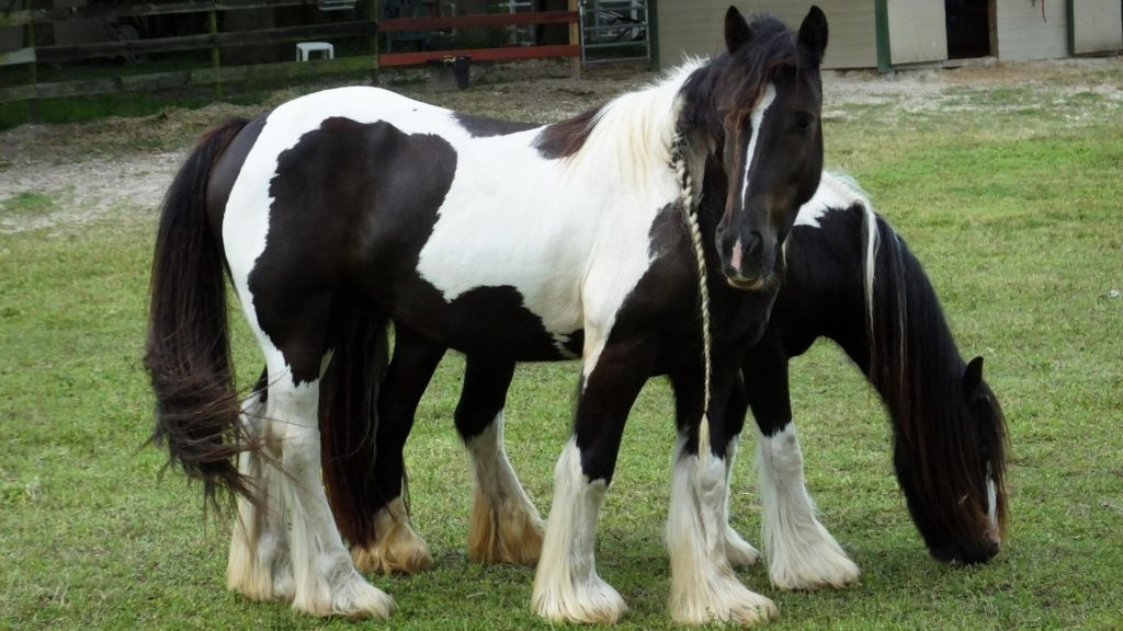 Picture of a Gypsy Vanner horse.
