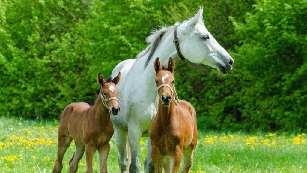 twins,foals,horses,broodmare,