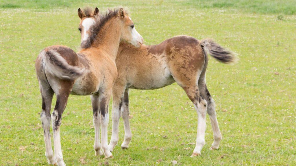 twins,horses,foals,broodmare