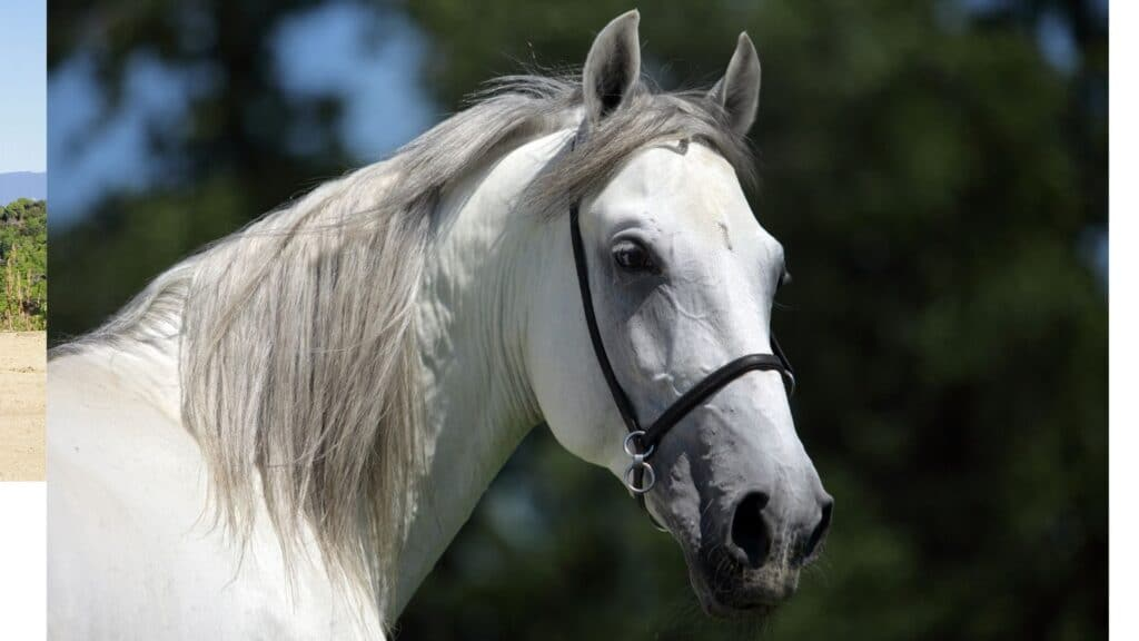 Picture of an Andalusian  horse.