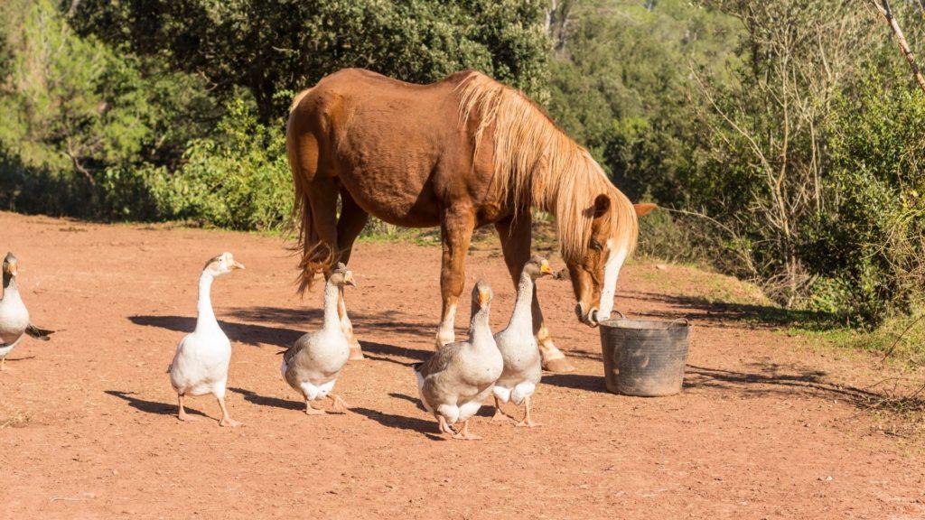 companion,geese,