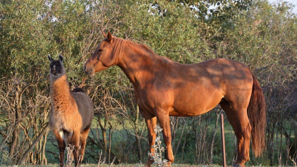companion,llama,