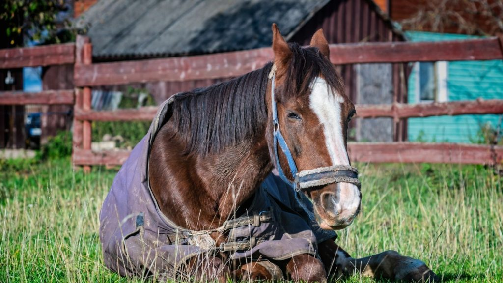 Picture of a sick horse laying on the ground.
