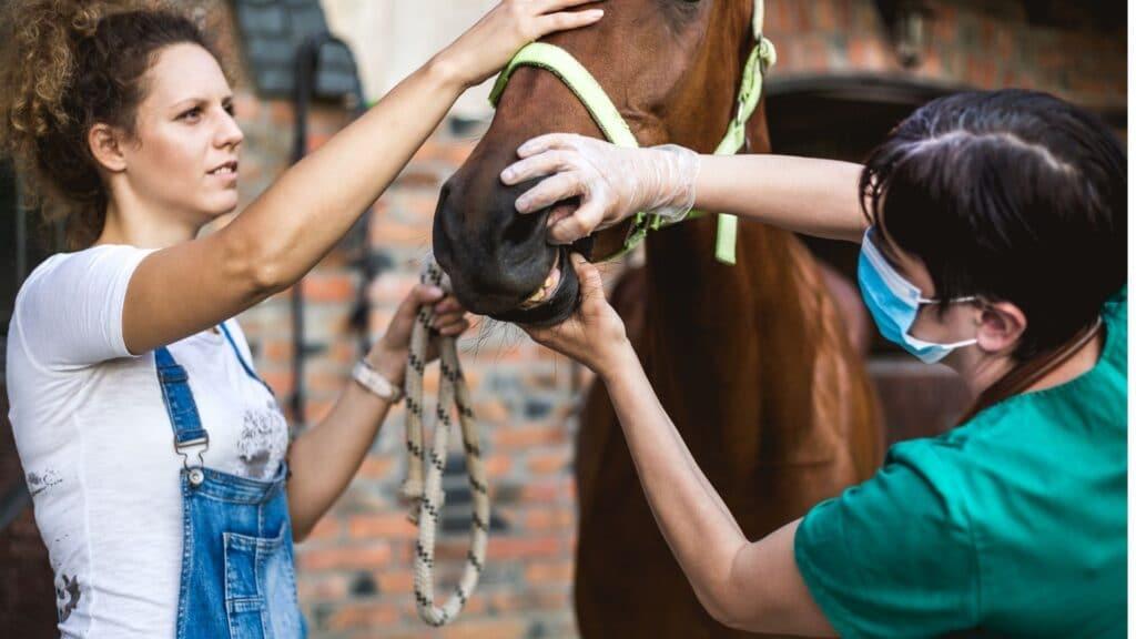 Vet checking a horses teeth