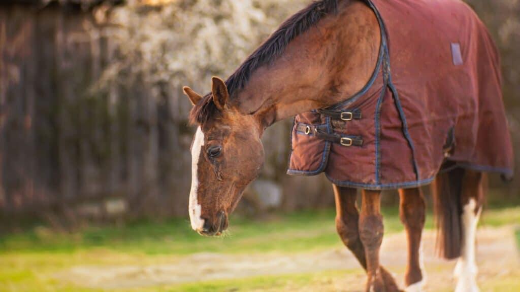 navicular,horse,