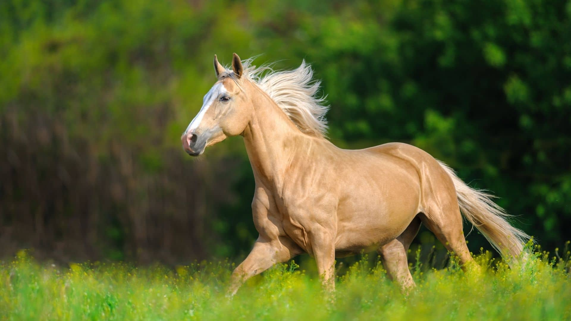 Are Palomino Horses A Breed Expensive Purebred Or A Color