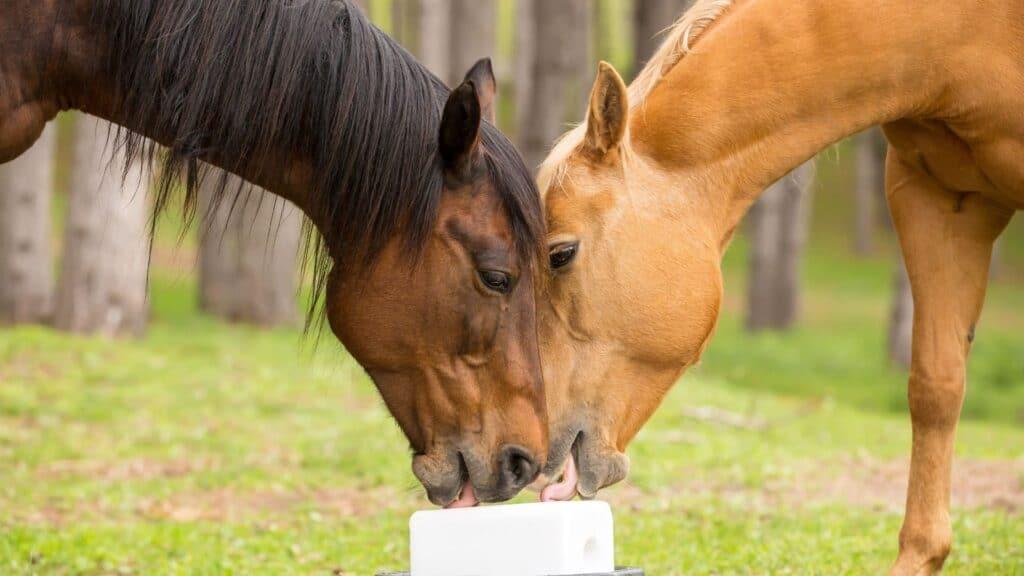 lick,horse,salt,