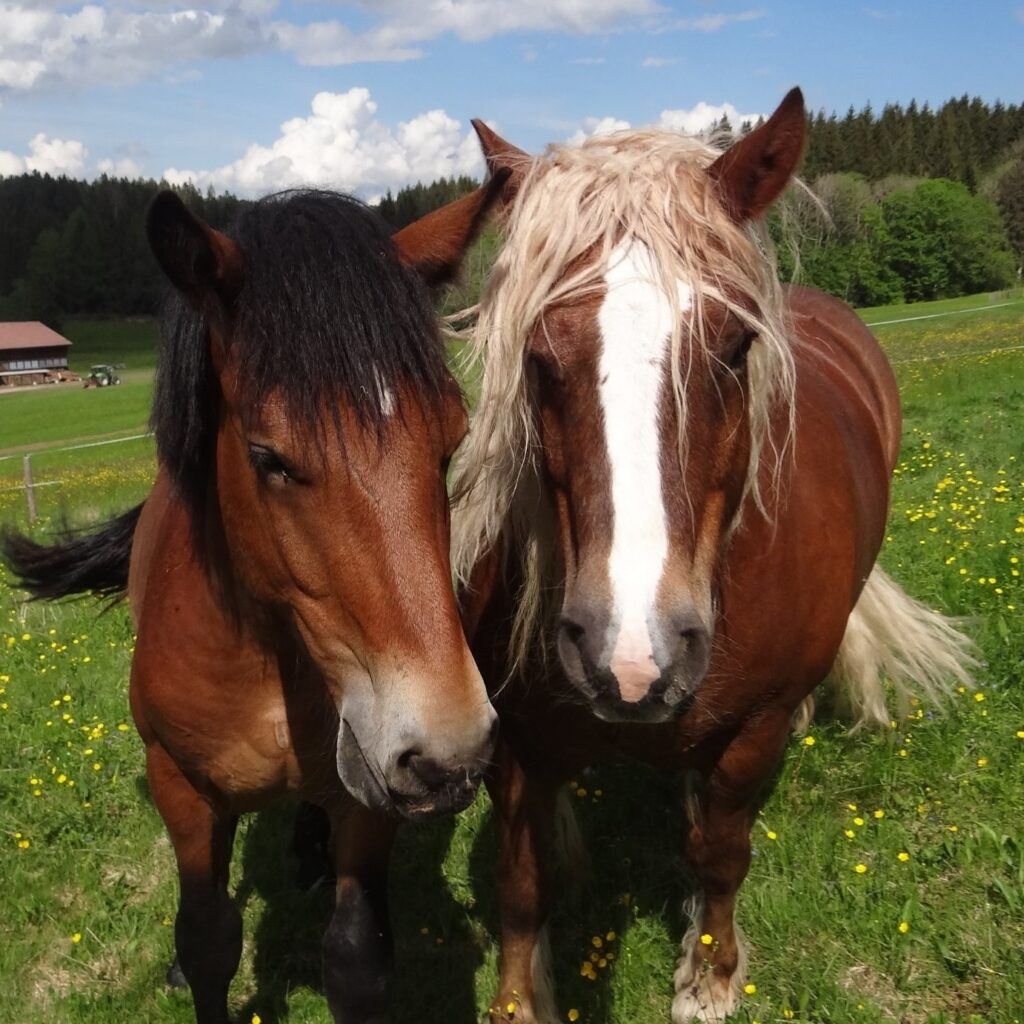 What S A Black Forest Draft Horse Breed Facts And Colors
