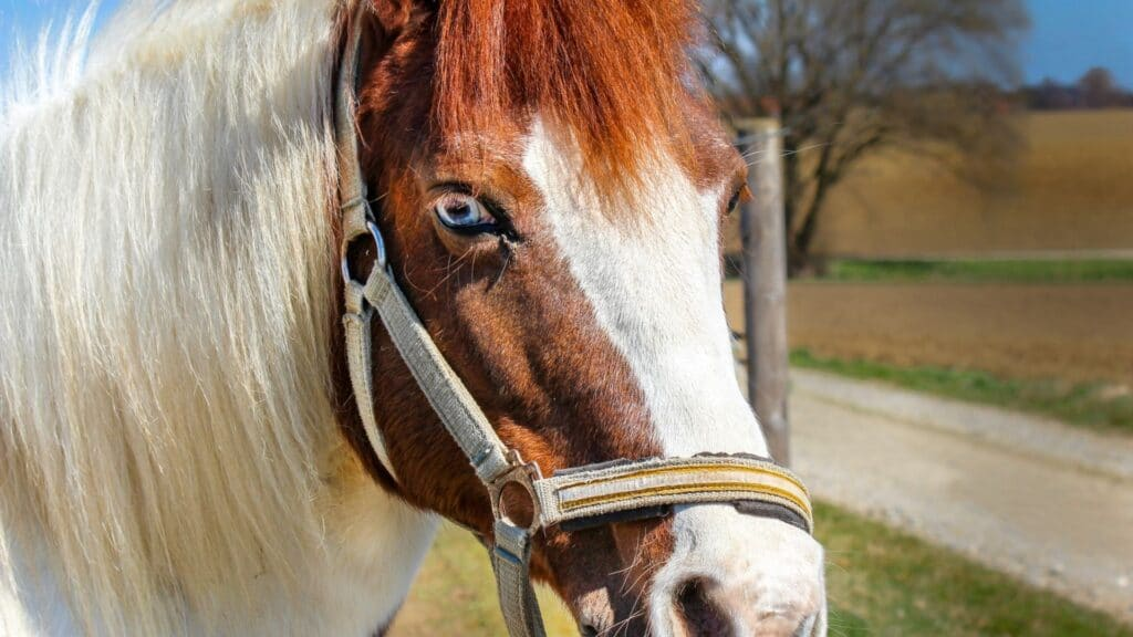 Picture of a paint horse with a blaze face and blue eyes.