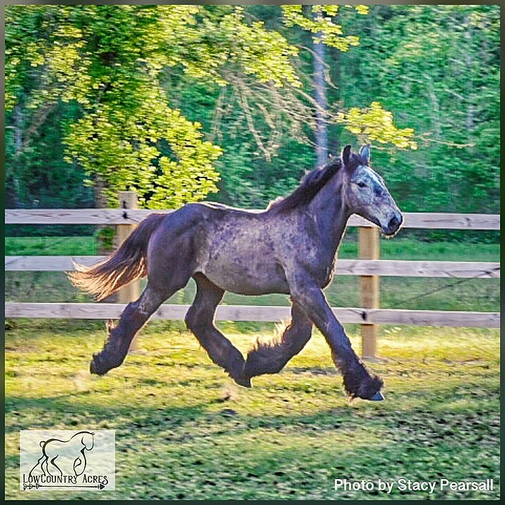 Picture of a blue roan,belgian