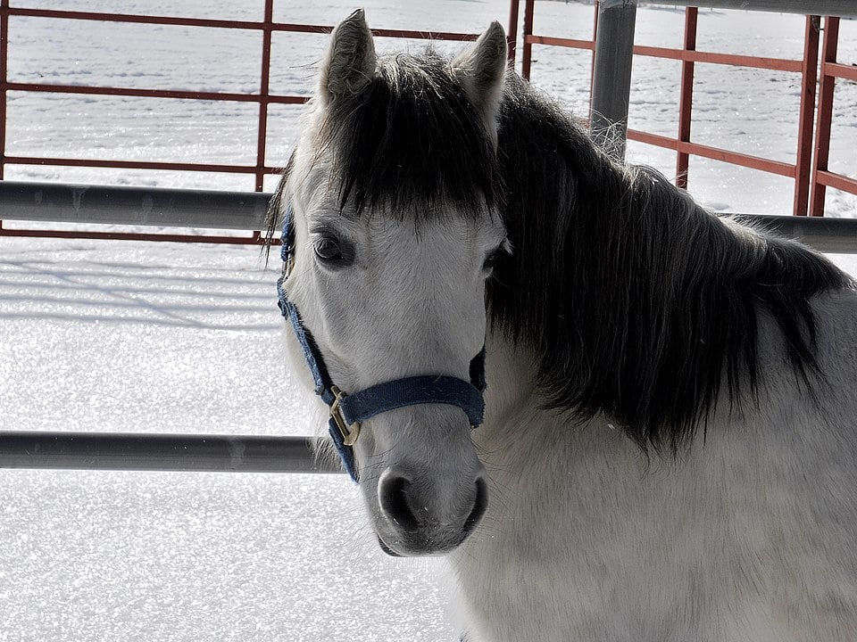 Picture of a blue roan welsh pony.