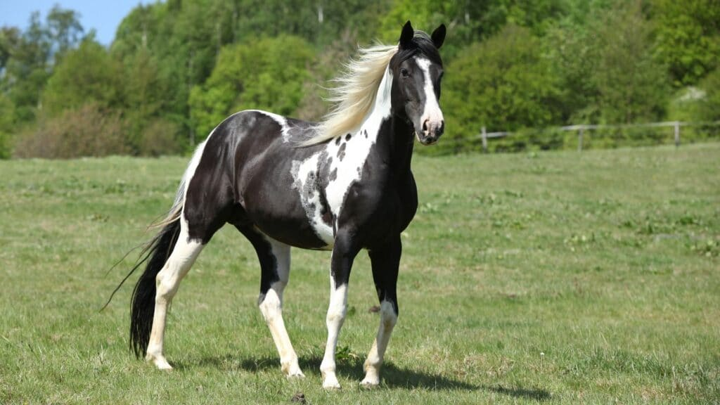 What Is A Blue Roan Horse Breeds Names Colors Pictures