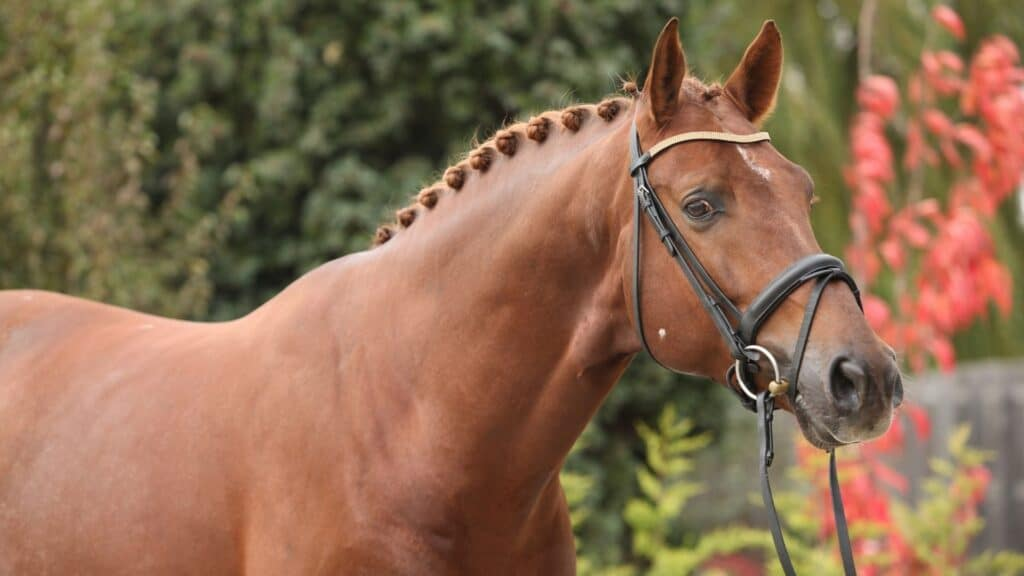 dressage and jumping,