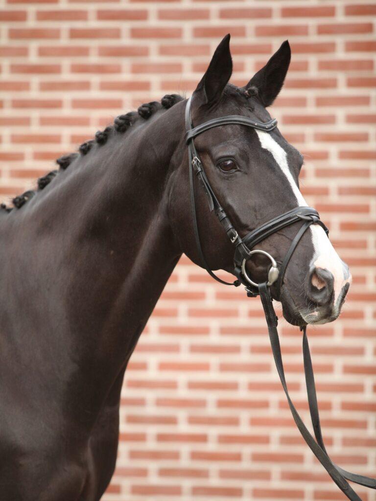 Picture of a Dutch Warmblood horse
