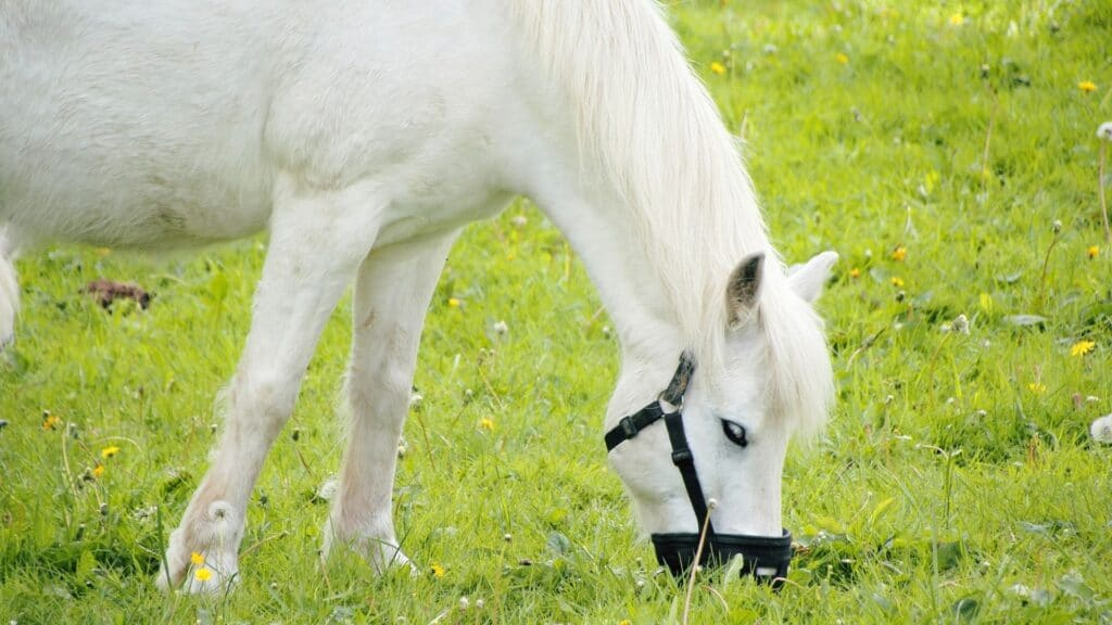 picture of a horse eating while wearing a grazing muzzle,