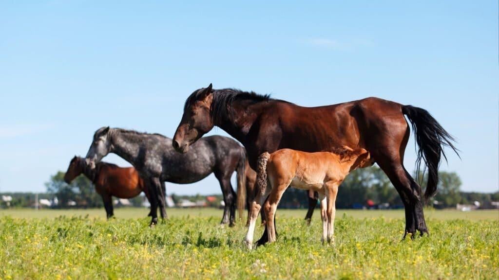 heat,mare,breeding,