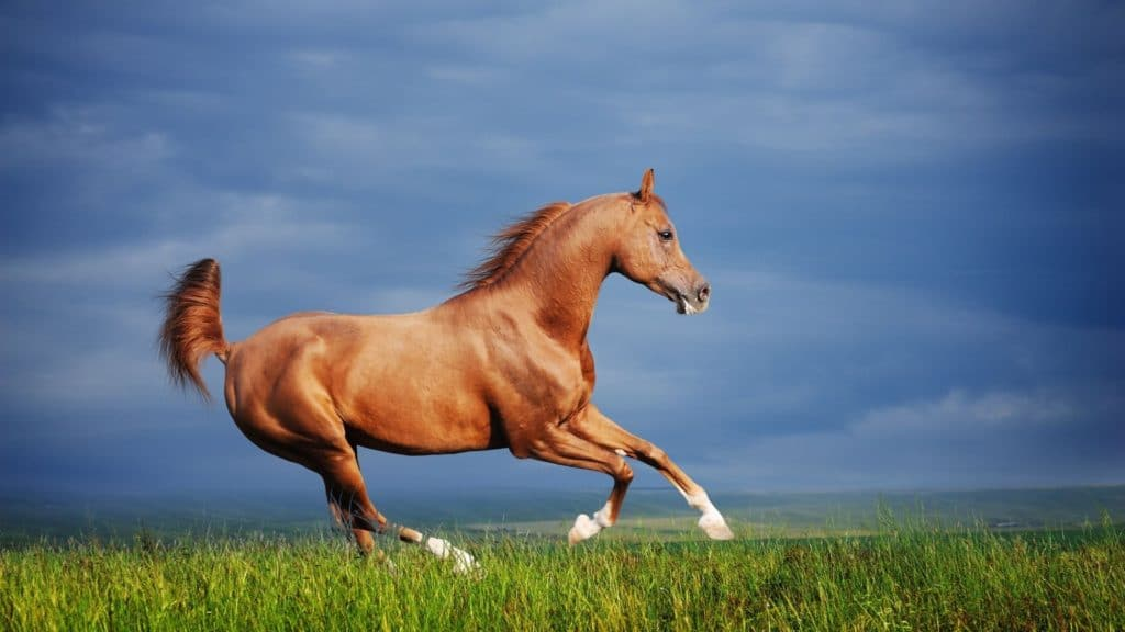 Picture of an Arabian horse,