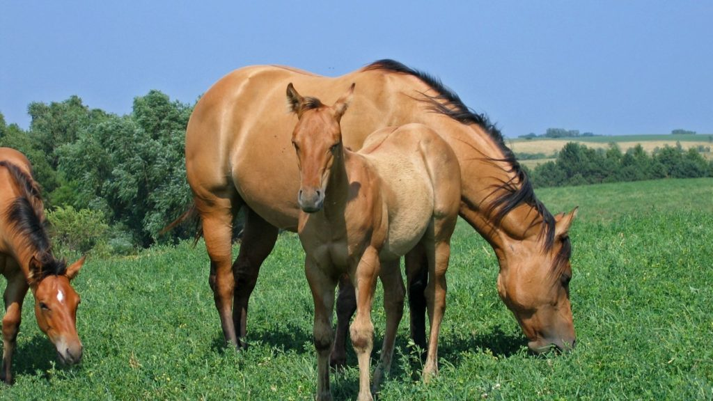 picture of a foal and its mother, both look like duns