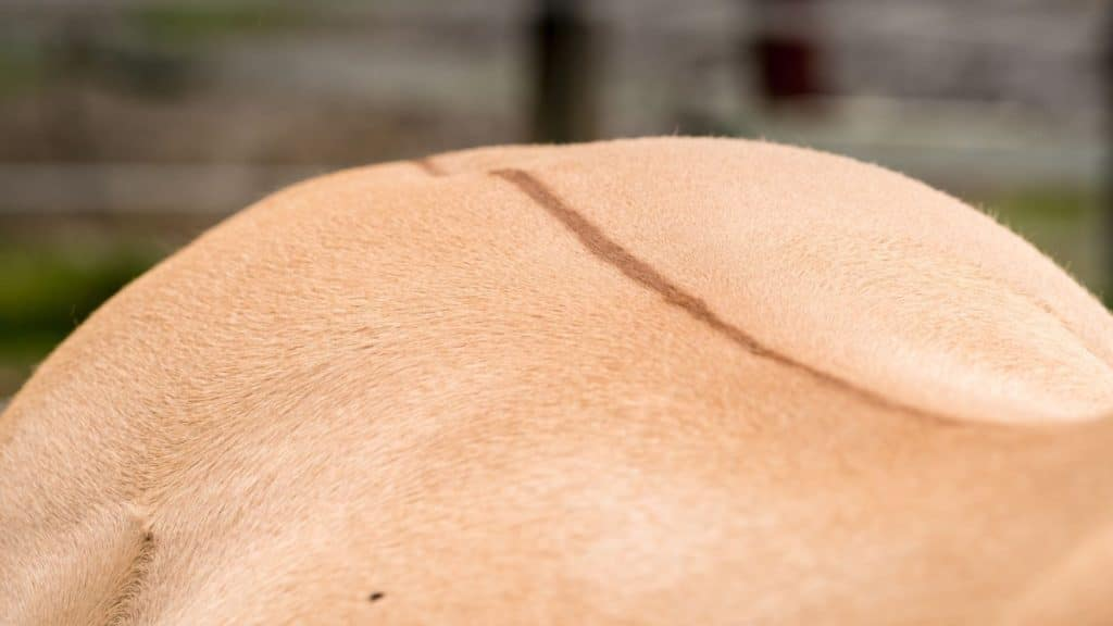 picture of a dorsal stripe on a horses back,