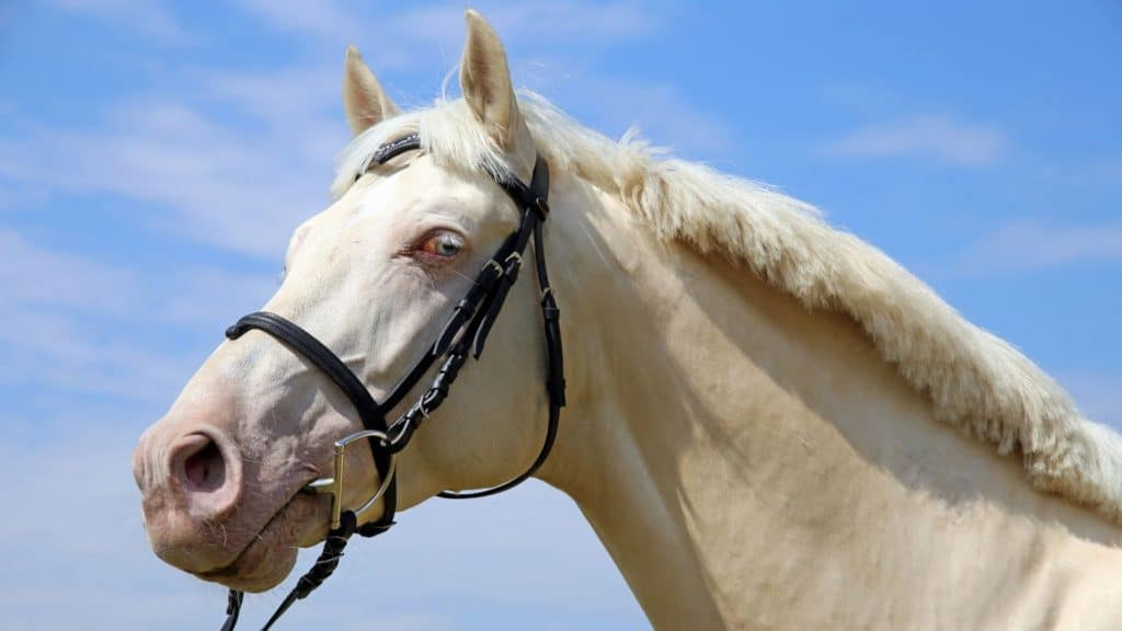 picture of a perlino horse,