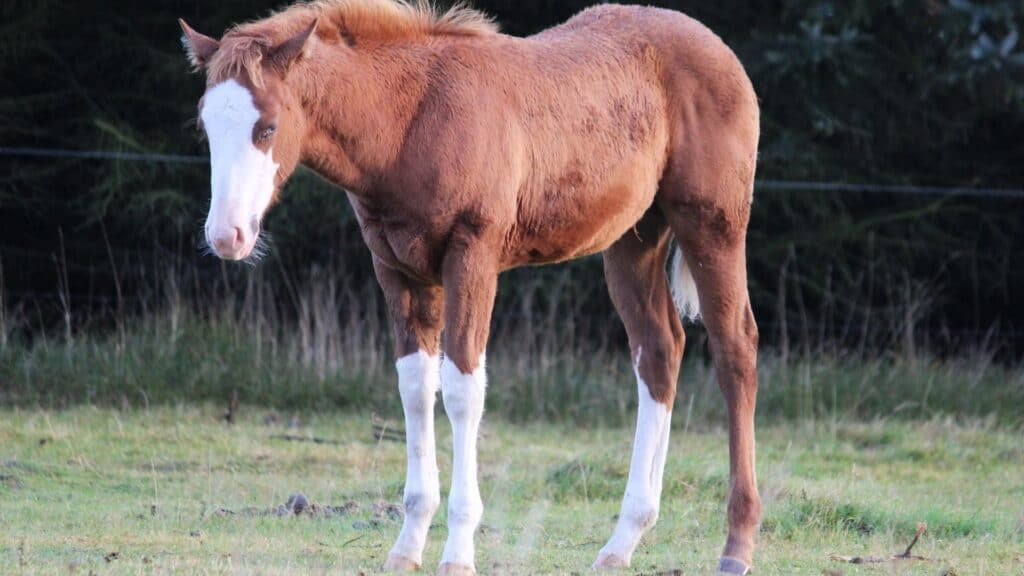 picture of a young horse standing and sleeping,
