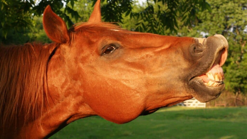 Picture of a sorrel horse showing its teeth,