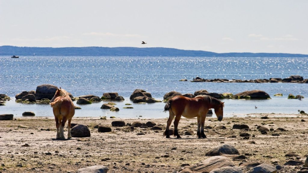 Picture of wild horses on the coast,