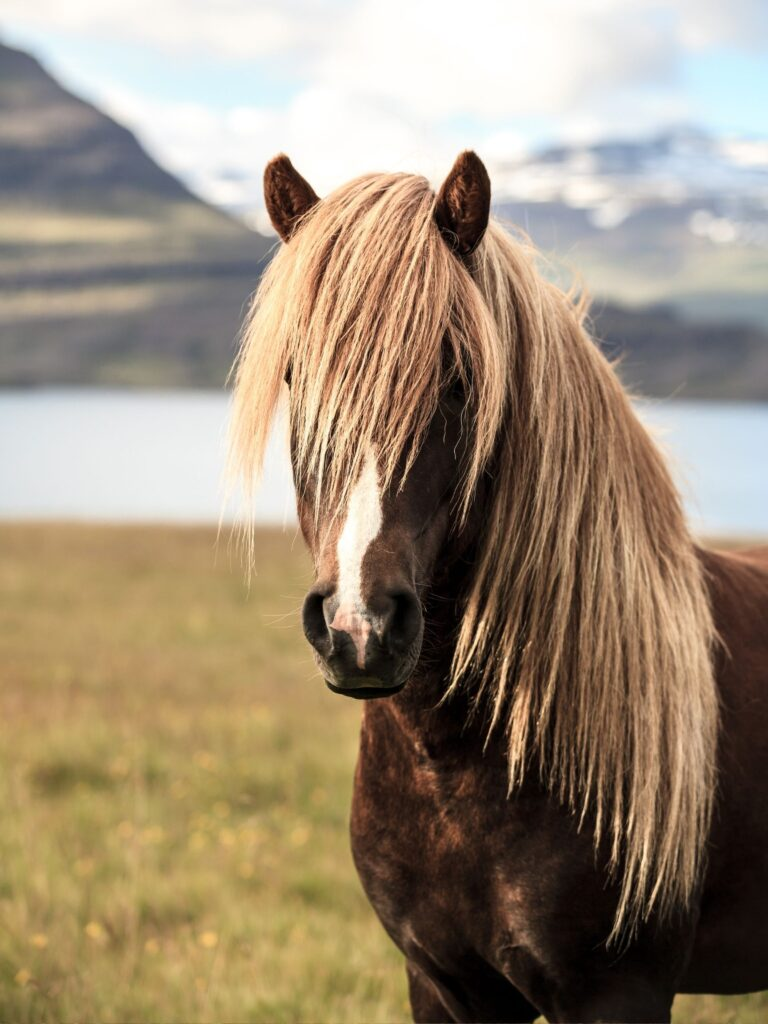 Picture of an Icelandic Horse.