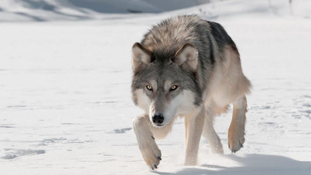 outrun,bear,wolf,