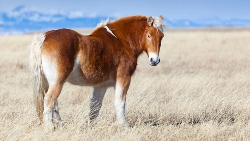 Picture of a belgian horse in a pasture, riding a belgian,