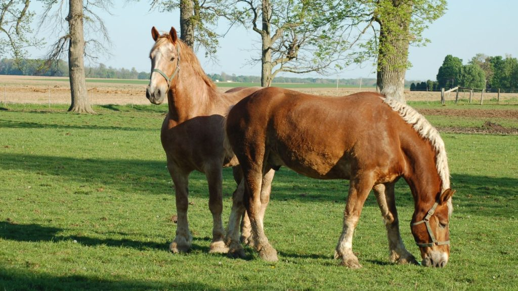 Picture of Belgian horse in a pasture,